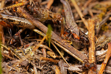 Red wood ants hunting grasshopper in anthill, Danubian wetland, Slovakia forest, Europe