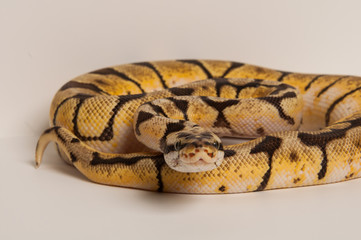 Ball python curled on white