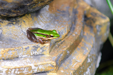 Cute asian green back frog sits on a stone