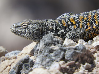 Lizard (Liolaemus fabiani) from Salar de Atacama, Atacama Desert, Chile