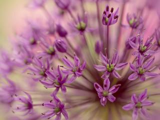 Great lilac-purple spherical allium, Allium hollandicum Fotoväggar