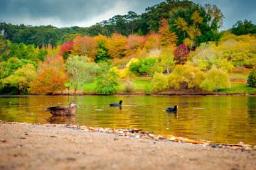 Birds swimming in autumn park pond