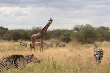 Giraffe und Zebras