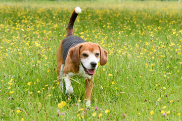 Beagles playing