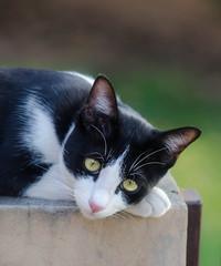 Very sad tuxedo cat Marlyanka