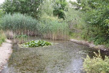 Kleiner Teich mit Schilf und Seerose im Hintergund