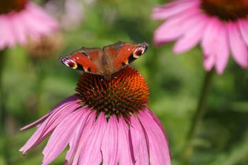 Echinacea purpurea, Schmetterling, Aglais io