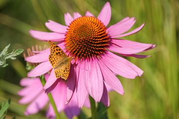 Echinacea purpurea, Schmetterling, Argynnis paphia
