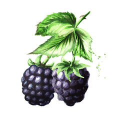 Brunch of two ripe blackberries with green leaves. Watercolor hand drawn illustration, isolated on white background