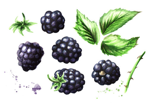 Ripe blackberries and green leaves set. Watercolor hand drawn illustration, isolated on white background