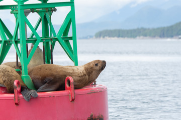 An afternoon siesta for a group of sea lions in Juneau, Alaska