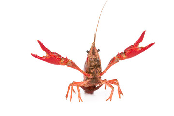 Live crayfish. Crayfish on a white background