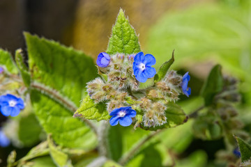 Close up of Green Alkanet flowers growing in the sunshine