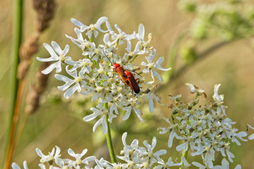 Pair of Red Cardinal Beetles mating on a white Night Flowering Catchfly