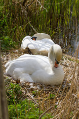 photo of a pair of Mute swans on their nest