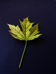 Yellow leaf on black background.