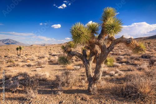 joshua trees in death valley national park california fotolia com