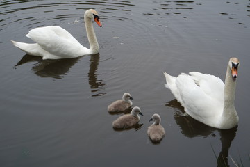 Swan mother and father with three chicks