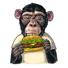 Monkey wearing a t-shirt eating a hamburger burger. Vintage color engraving