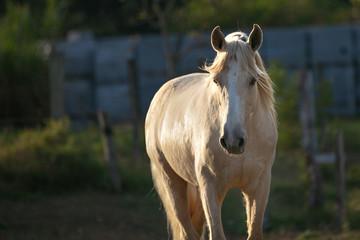 Cavalo, Horse