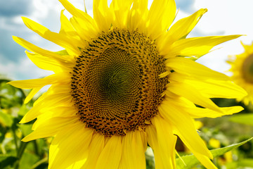Close-up of sunflower. Sunflower blooming. Sunflower natural background.