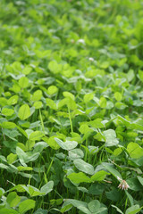 Clover field with sunlight. Trifolium repens