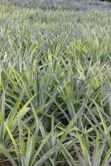 Pineapple Field in Moorea