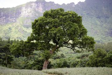 Tree on Pineapple Farm
