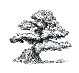 Bonsai tree, drawing.