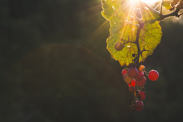 Close-up of grapes growing on tree at vegetable garden