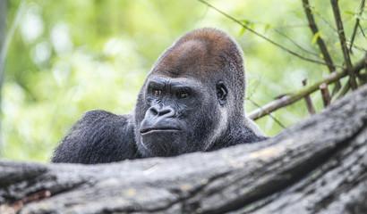 Gorilla Headshot [DSC3416]
