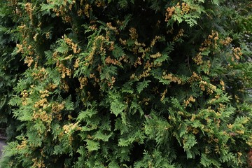 Young seeds of Thuja occidentalis
