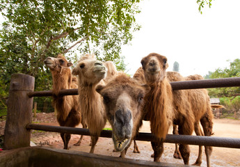 Curious camels in Safari Park Hainan