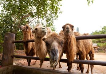 Curious camels in Safari Park Hainan