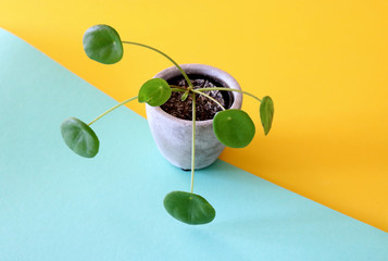 Chinese Money Plant, also called Pilea standing isolated on a geometric shaped yellow and turquoise background
