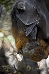 an Australian fruit bat