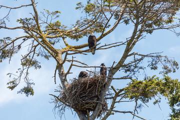 bald eagle and eaglet