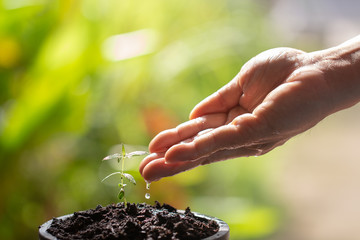 Hand watering to small cannabis plant in the morning Young marijuana plant growing in the morning light, new life growth ecology development business concept, Earth Day concept, background,