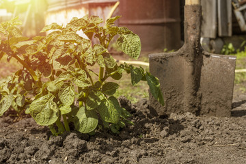 Green bush potatoes and a shovel in the garden on a sunny day. Copy space