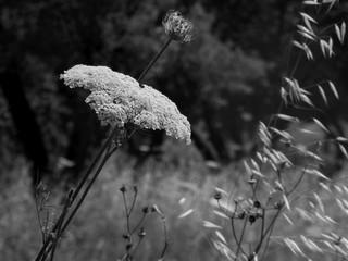 Moon Carrot Flower - Black & White Macro