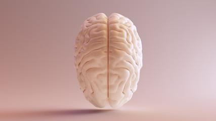 Human brain Anatomical Model Top 3d illustration