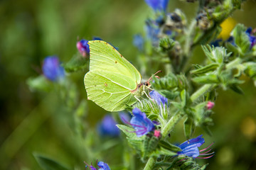 Common brimstone yellow butterfly