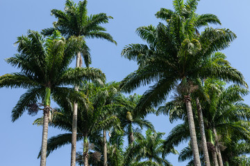 Tops of palm trees with a blue sky background