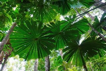 Fototapeta Tropical plants in the mangrove in the Daintree rainforest wet tropics area near Cape Tribulation, Far North Queensland, Australia obraz