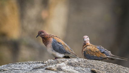 Laughing Dove in Kruger National park, South Africa ; Specie Streptopelia senegalensis family of Columbidae
