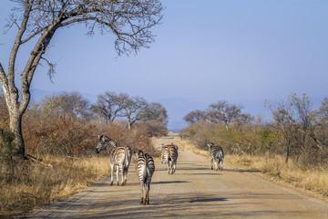 Poster Afrique du Sud Plains zebra in Kruger National park, South Africa ; Specie Equus quagga burchellii family of Equidae