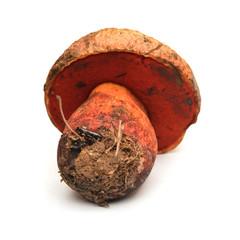 Boletus rhodopurpureus mushroom
