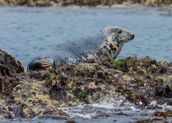 Grey Seal, resting on the rocks at the Farne Islands, Northumberland, England, UK.