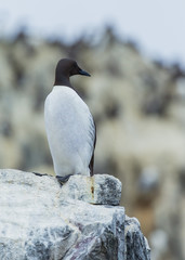 Guillemot, Sea Bird, on rocks at the Farne Islands, Northumberland, England, UK.