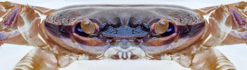 yeux de crabe, pédoncules oculaires, ,vue multi-directionnelle